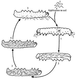 Life cycle of insect-parasitic nematodes