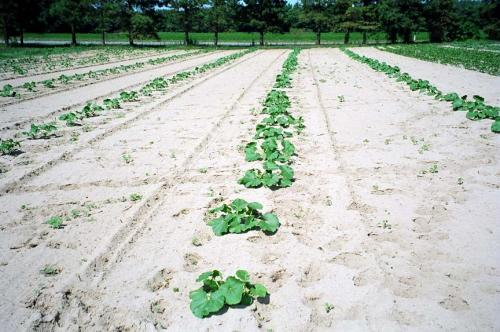 Weeds emerging in wide interrow space of young squash planting