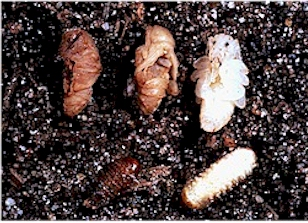 Healthy and nema-infected black vine weevil pupae