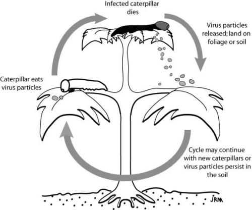 Generalized life-cycle of insect viruses.