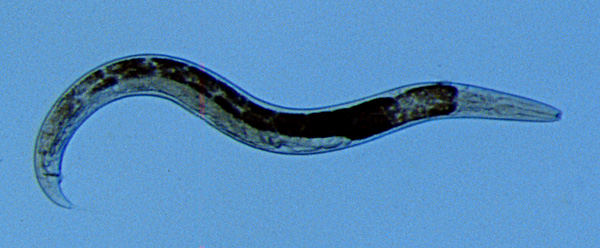 Figure 1. A typical free-living, bacterial-feeding nematode.