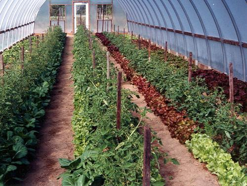 Interplanting of tomatoes and greens in hoophouse