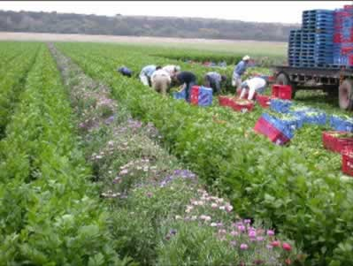 Vegetable farm with flower strips