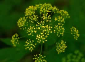 Wild parsnip with yellow flowers