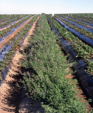 Alfalfa as a trap crop with strawberries