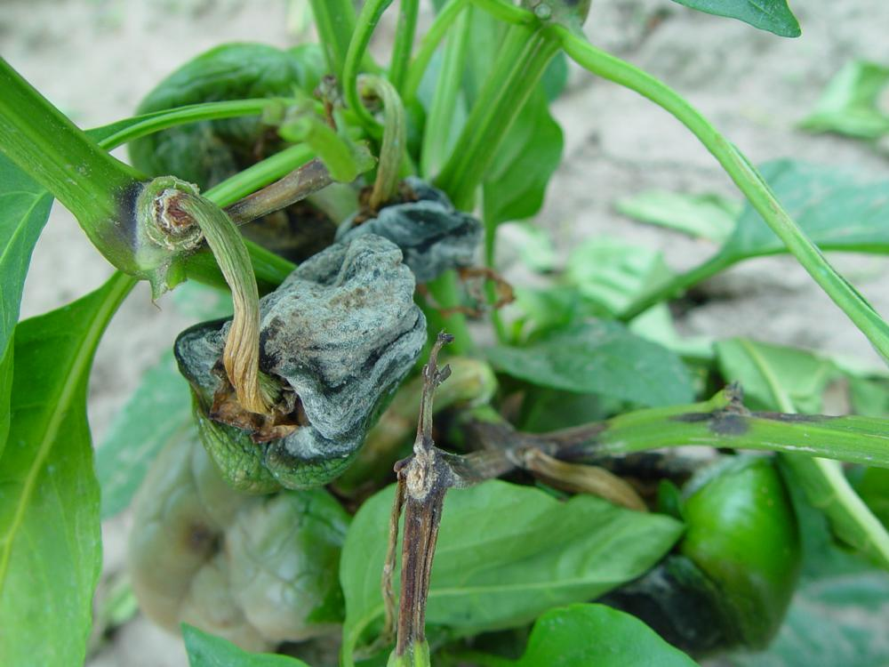 Phytophthora blight and fruit rot of pepper