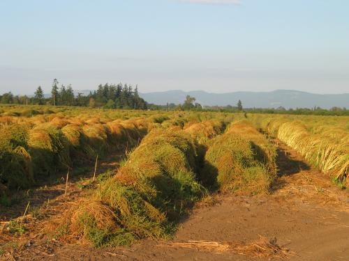Beet seed field, Willamette Valley, Oregon. Photo credit: Micaela Colley, Organic Seed Alliance
