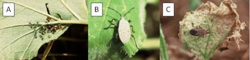 Squash bug (A) hatching eggs, (B) nymph and (C) adult.