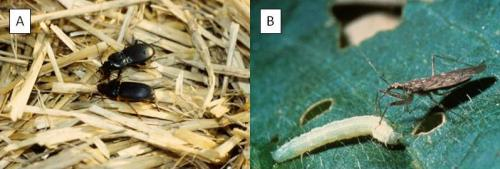 Figure 2. Key predators of squash bugs include (A) ground beetles and (B) damsel bugs