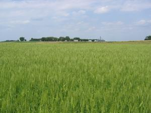 Winter wheat at the University of Minnesota's Southwest Research and Outreach Center
