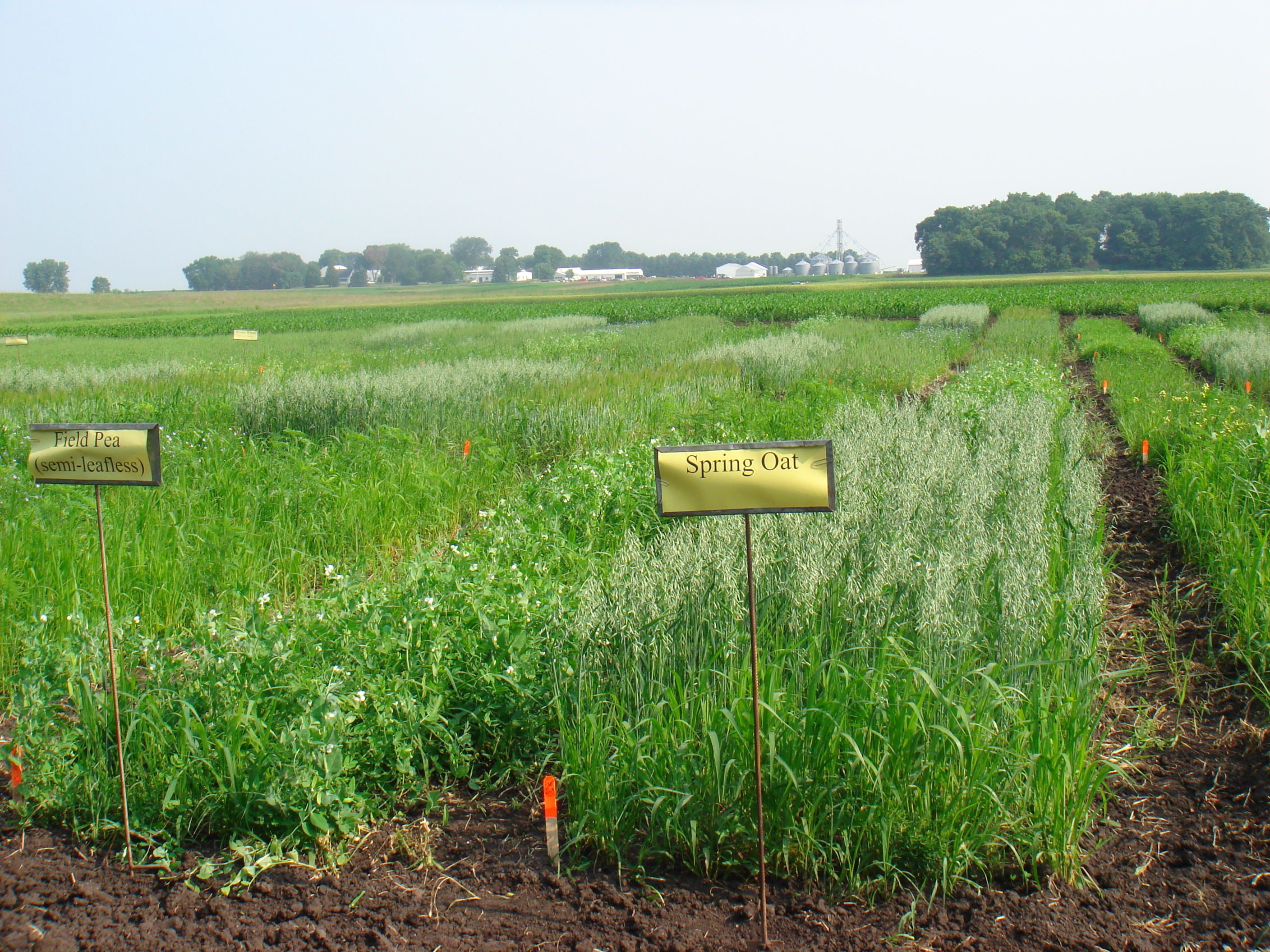 Cover crop plots at University of Minnesota. Photo by Jim Riddle.