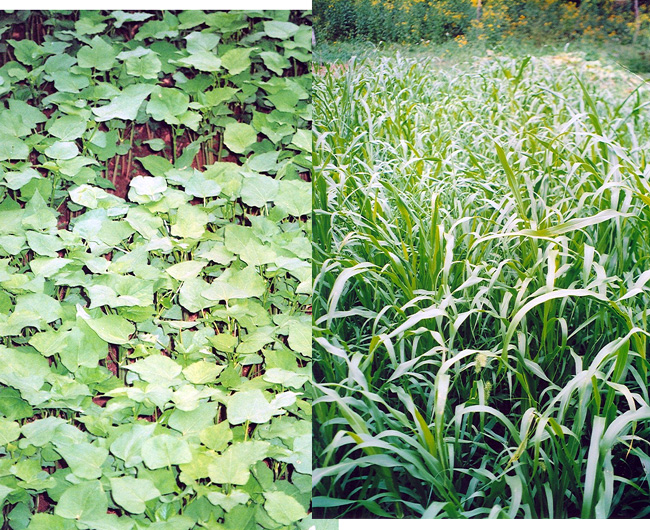 Buckwheat and pearl millet cover crops