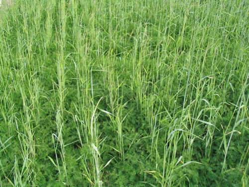 A mixture of rye (30%) and vetch (70%) was planted as a green manure for sweet corn. Cereal rye has a erect growing habit and serves as an excellent trellis for vining legumes like hairy vetch.