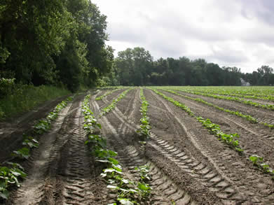 Two row perimeter trap crop of Buttercup squash around a main crop of Butternut squash