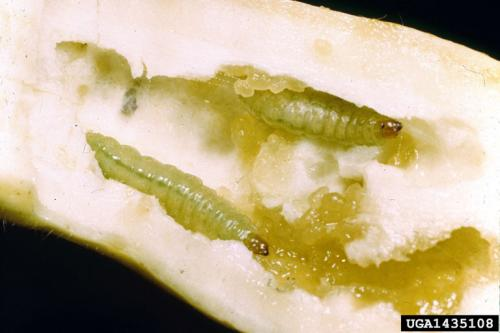 Pickleworm larvae and excrement inside fruit