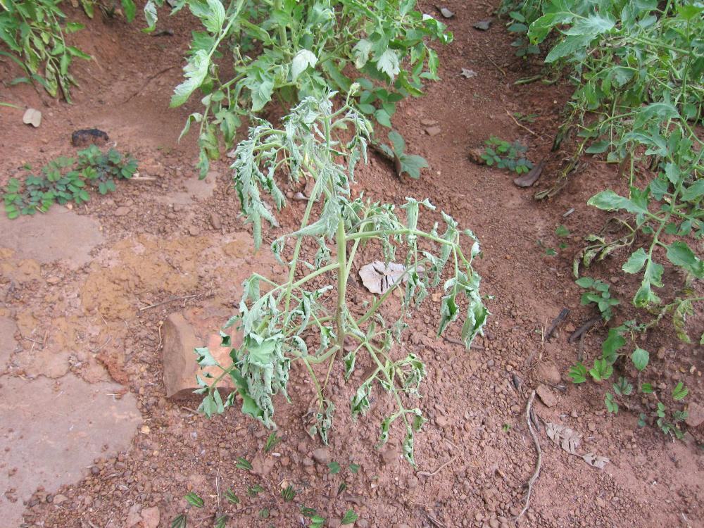 Tomato bactrial wilt
