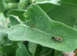 Assassin bug and cucumber beetle