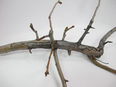 overwintering fire blight canker in pear